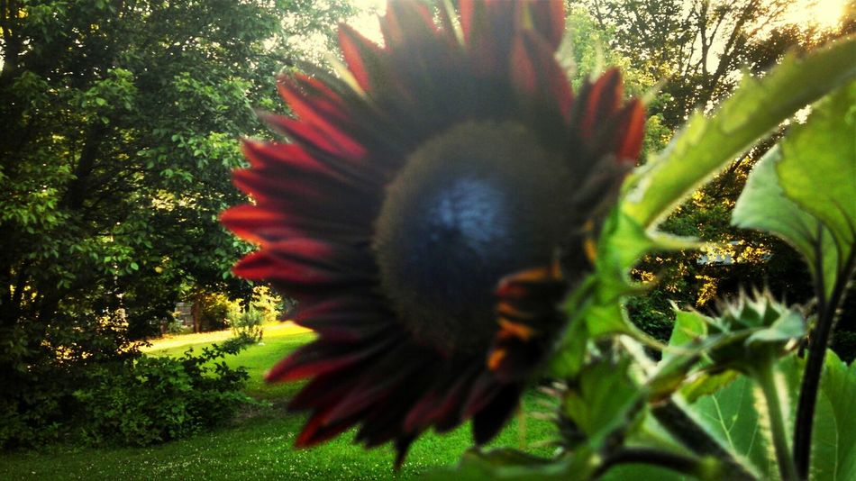 Sunflower Nature Collection EyeEm Nature Lover Summertime