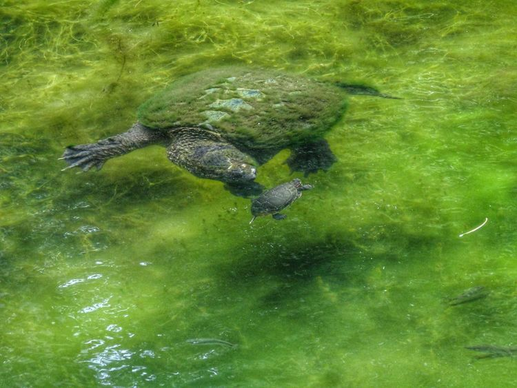 Checking out the pip squeak... Turtles Swimming Showcase July Pure Michigan Beauty In Nature EyeEm Best Shots - Nature EyeEm Nature Collection EyeEm Nature Lover Tadaa Community Pond Life Hdr_Collection