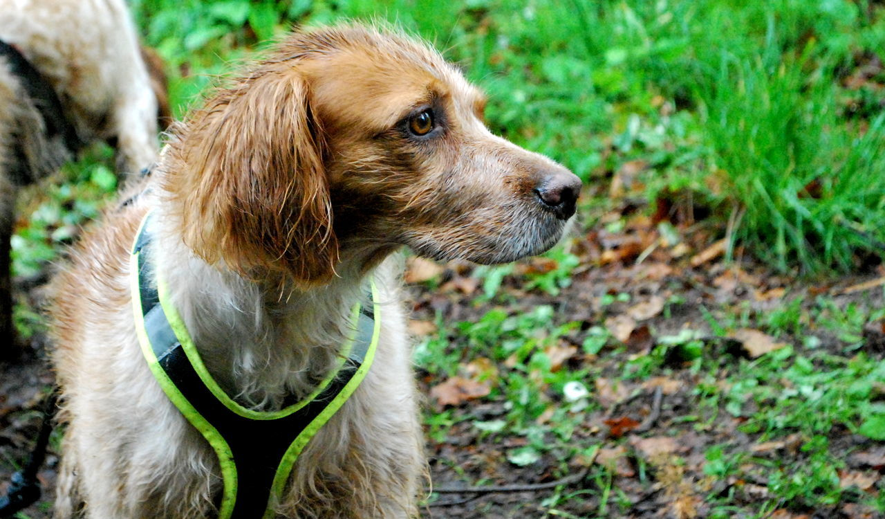 on a rainy canicross day Animal Animal Head  Animal Themes Brown Canicross Close-up Cross Day Dog Focus On Foreground Grass Mammal Nature No People Outdoors Portrait Selective Focus Sport Young Animal