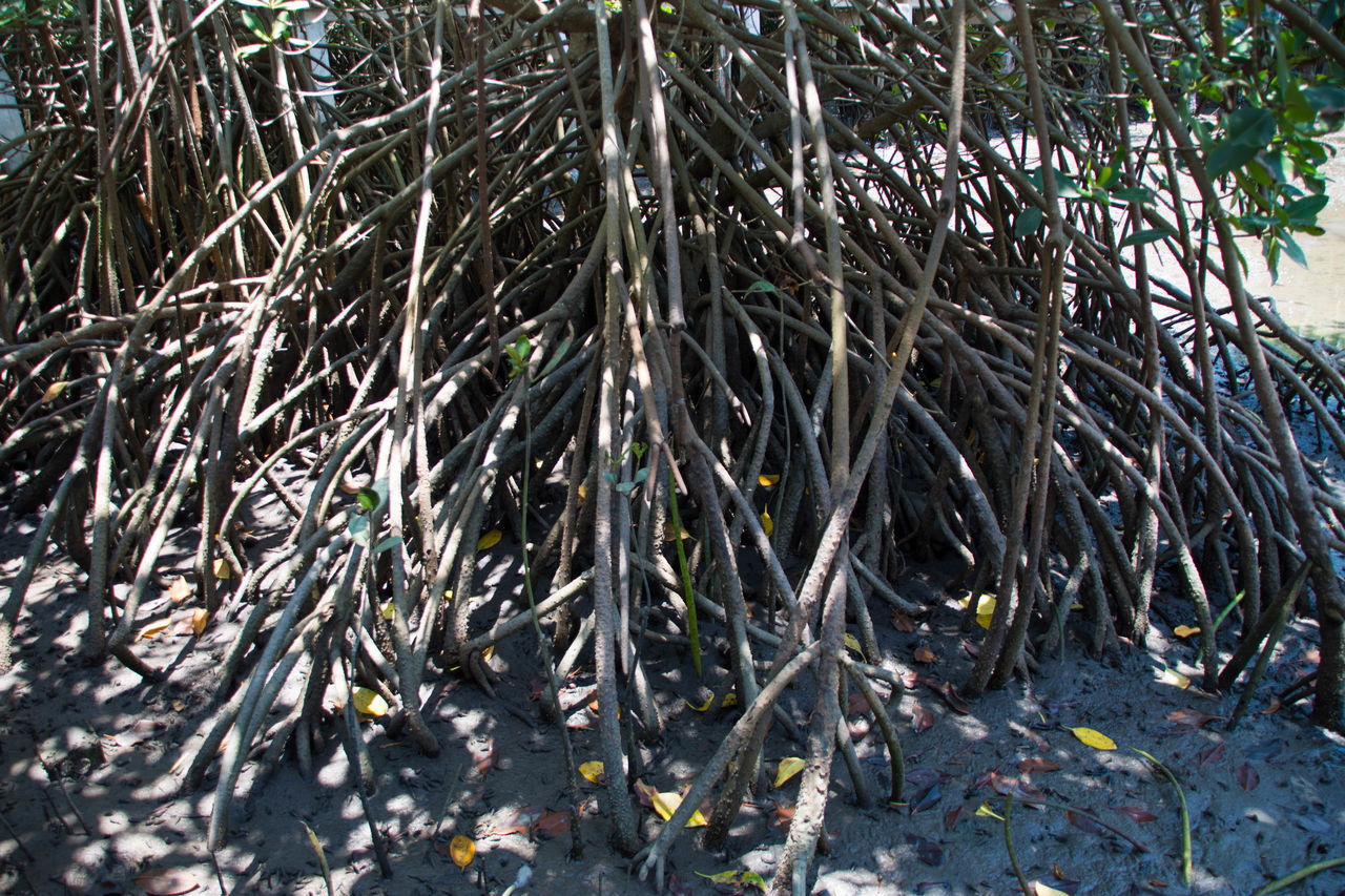 Bamboo - Plant Beauty In Nature Branch Close-up Day Forest Leaf Mangroves Nature No People Outdoors Tree Tree Trunk