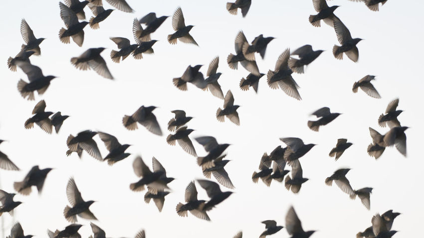 """I must have spooked this group of starlings in the grass on the road side, as they all flew up as one. (Nikon D810 ƒ/5.6 210mm 1/320"""" iso 100) Animal Themes Animals In The Wild Beauty In Nature Bird Birds Clear Sky Day Flight Flock Flock Of Birds Flying Nature Pattern Netherlands No People Outdoors Silhouette Spooked Spread Wings Starlings Wildlife Www.benjaminvanderspek.com Zeeland  Photography In Motion Beautifully Organized"""