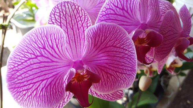 Orchids Orchid Flower Botanical Purple Violet Flowers Sunlight Hawaii Kawaihae Big Island Hawaii Samsung Note 5 Lucas Boyd