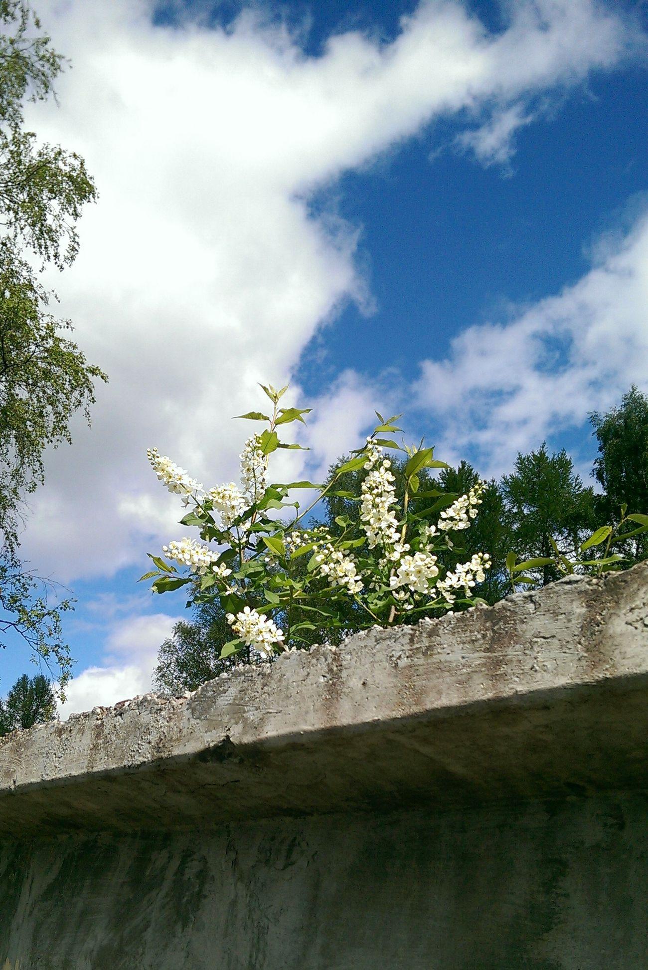 Flowers Bird Cherry Tree Sky Spring Plants