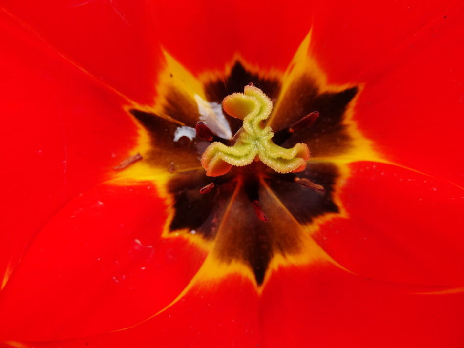 Beautiful stock photos of tulip, Backgrounds, Beauty In Nature, Botany, Close-Up