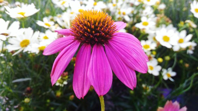 Purple coneflower, echinacea. Flower Echinacea Echinacea Purpurea Echinaceapurpurea Purple Flower Purple Coneflower Purple Cone Flower Pink Flower Pink Color Purple Flowers Purple Beauty In Nature Petal Flower Head Close-up Nature Focus On Foreground Blossom Vibrant Color Plant Freshness Growth Flowers, Nature And Beauty Flowers,Plants & Garden Asus Zenfone 2 Laser