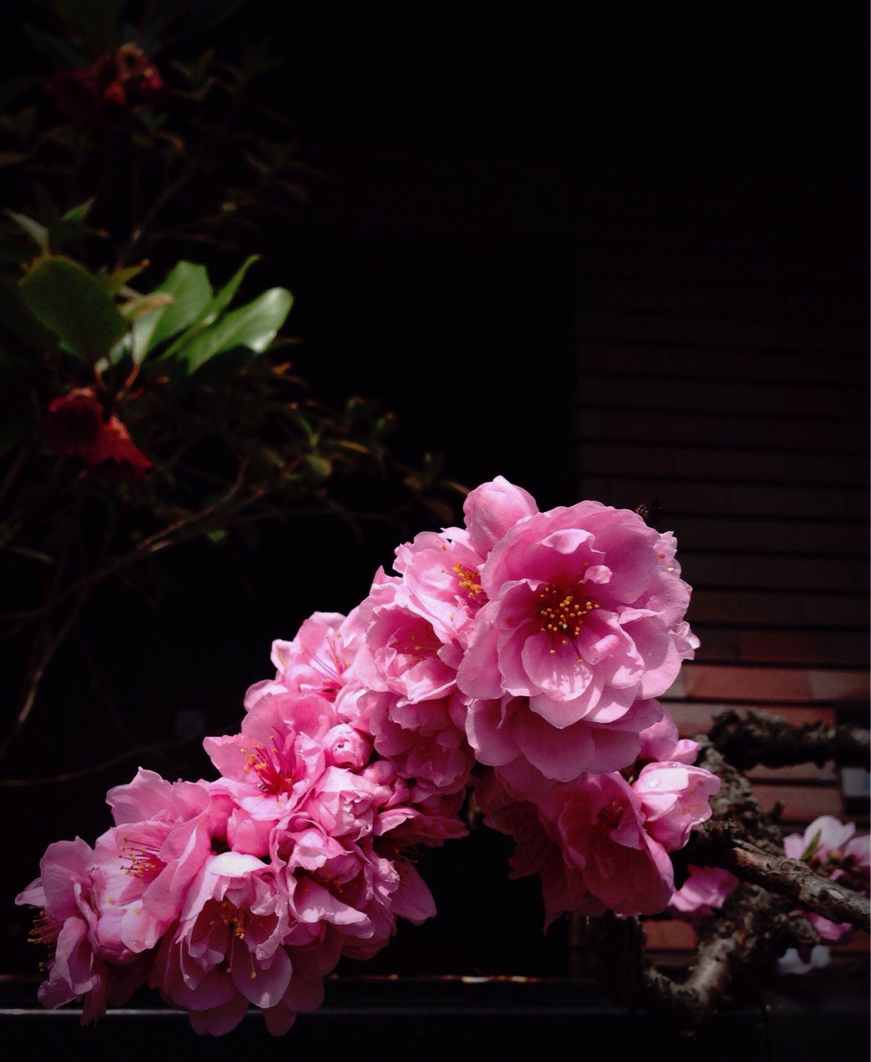 八重桜 Doble Cherry-blossoms 🌸🌸 Starting A Good Day Start-flowering Flower-festival 待ってました なんちゃって♡