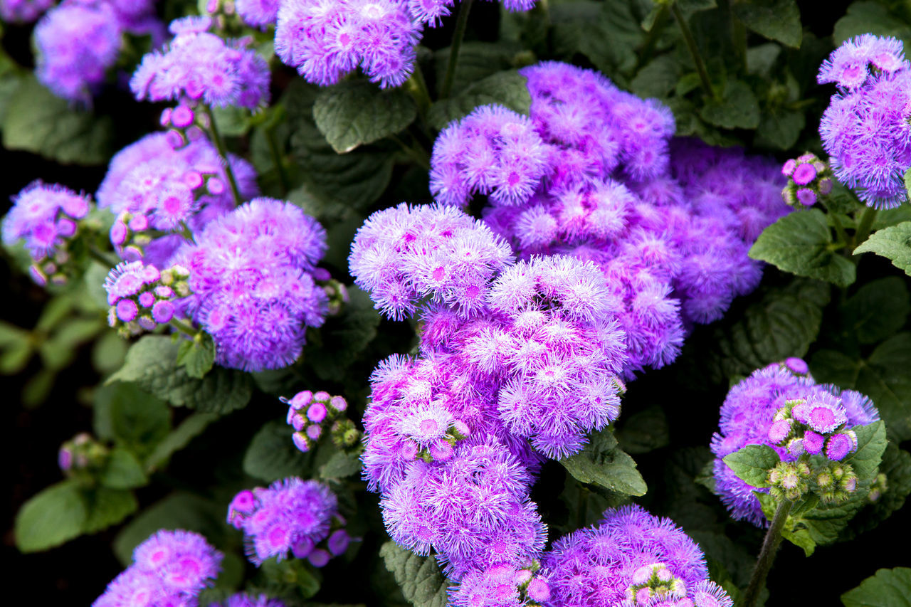 Purple flowers close up Beauty In Nature Blooming Close-up Day Flower Flower Head Fragility Freshness Furano Growth Hydrangea Leaf Lilac Nature No People Outdoors Plant Purple Springtime