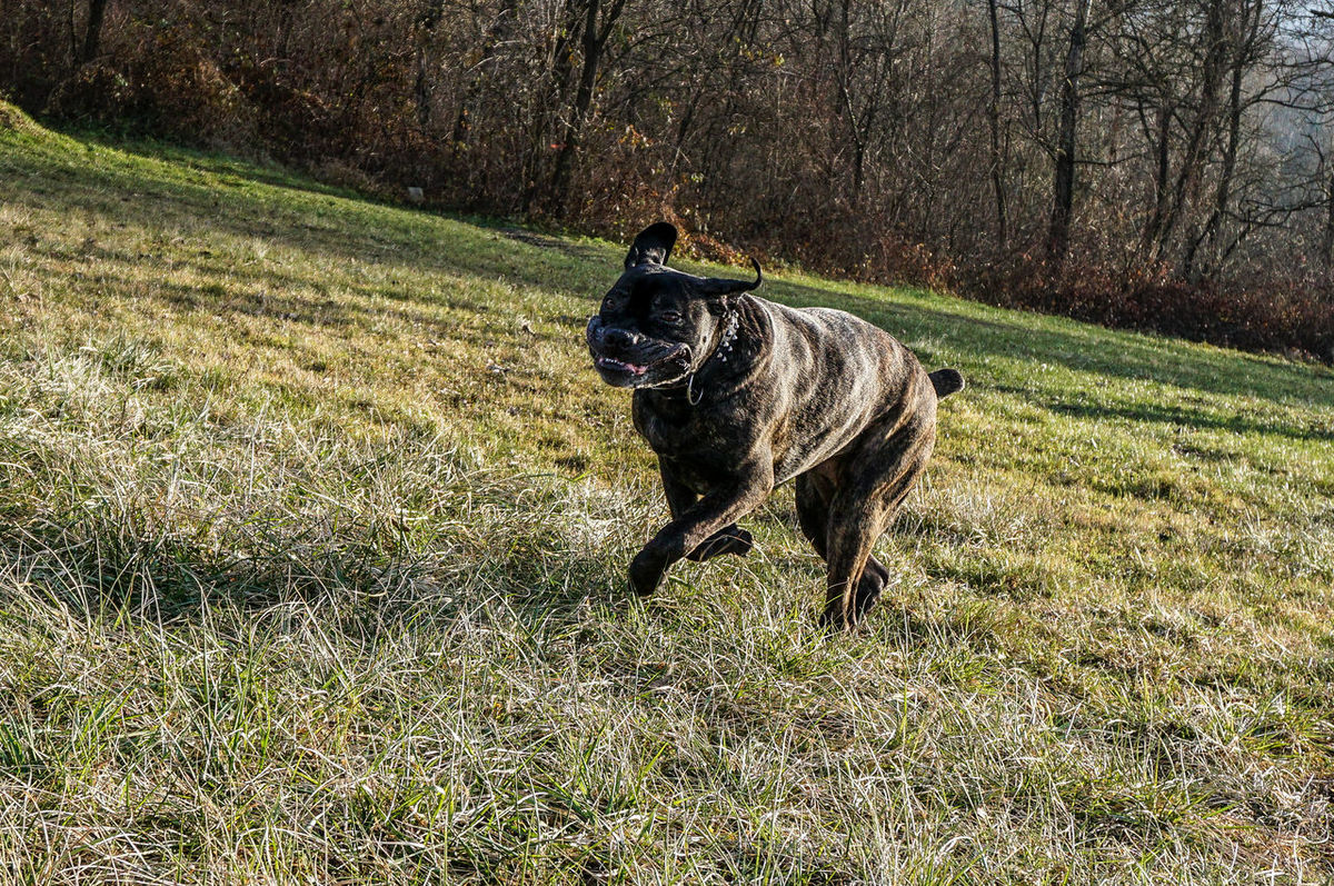 Active Active Dog Animal Themes Big Dog Cane Corso Daily Walk Day Dog Domestic Animals Fast Fast Dog Fast Dogs Field Grass Grass Mammal Mastiff Nature Nature No People One Animal Pets Playing Dog Playing With My Dog Running