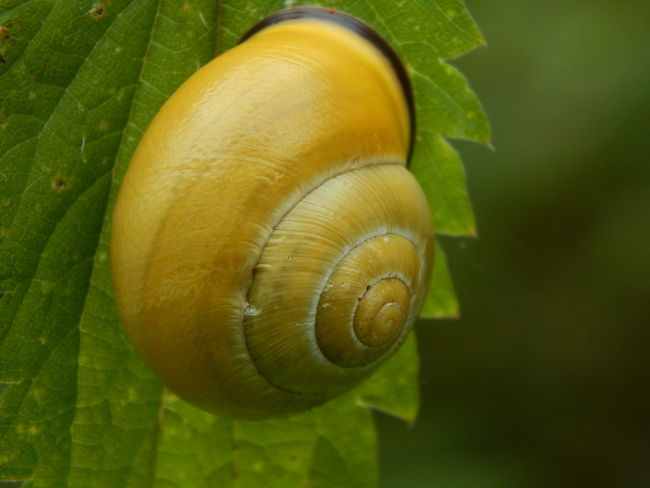 snail at a stinging nettle Animal Shell Beauty In Nature Close-up Detail Focus On Foreground Natur Natural Pattern Natural Pattern Nature Nature Nature Photography Nature_collection No People Outdoors Selective Focus Snail Snail Snail Collection Snail Shell Snail Shell Close Up Snail Shells Snails Snail🐌 Spiral Tranquility