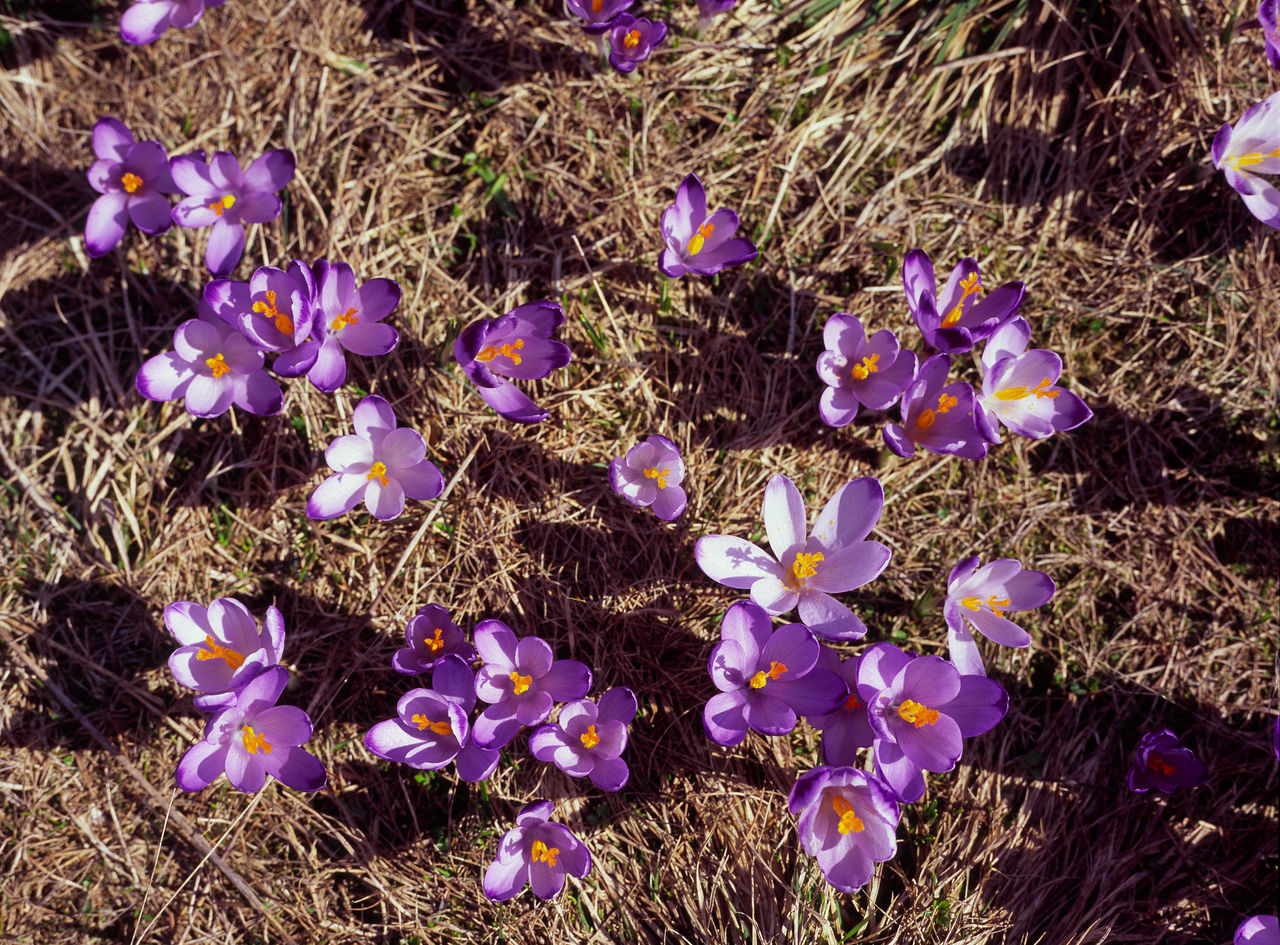 Beauty In Nature Blooming Crocus Day Flower Flower Head Fragility Freshness Mountain Mountains Nature Outdoors Poland Purple Spring Spring In The Mountains Springtime Tatry