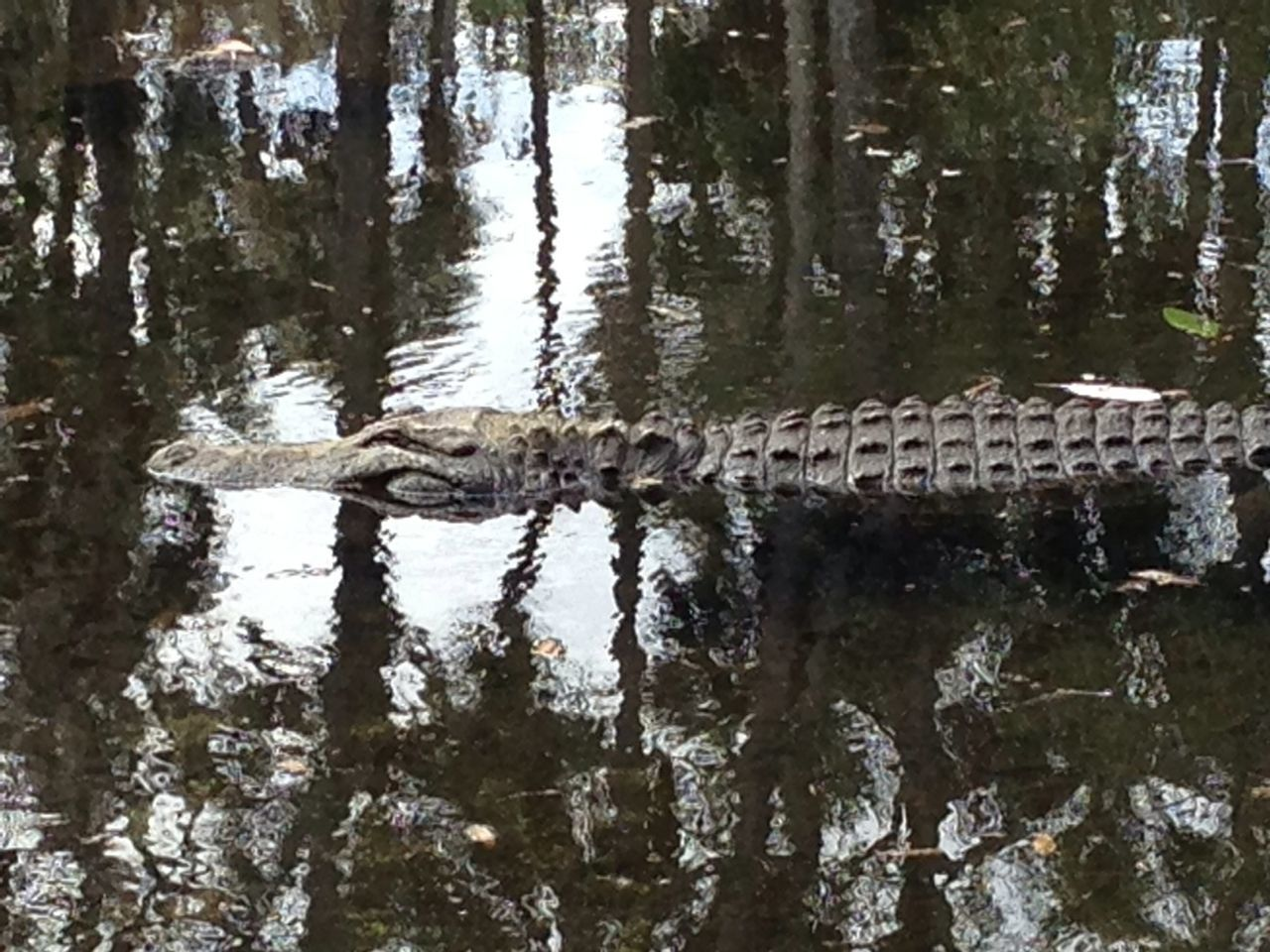 Cropped Image Of Alligator In Pond