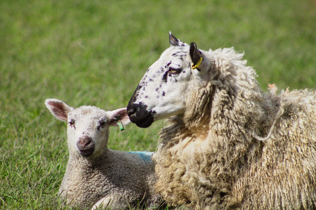Animal Head  Animal Themes Close-up Farm Farm Life Farming Farmland Field Grass Grass Lamb Lamp And Sheep Livestock Mammal Meadow Mother And Baby Nature Sat Down Sheep