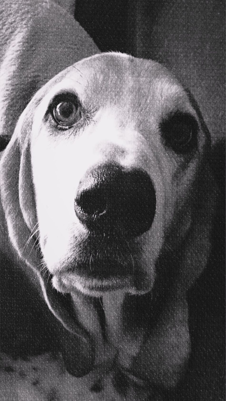 My handsome boy Cooper Dog Pets One Animal Looking At Camera Close-up Portrait Indoors  Blackandwhite Photography Iphonephotography Relaxedand Happy Looking At Camera Ilovemybassethound Pampered Pooch Relaxeddoggie Bassethoundsare Best Bassethound Moments Black And White Photography