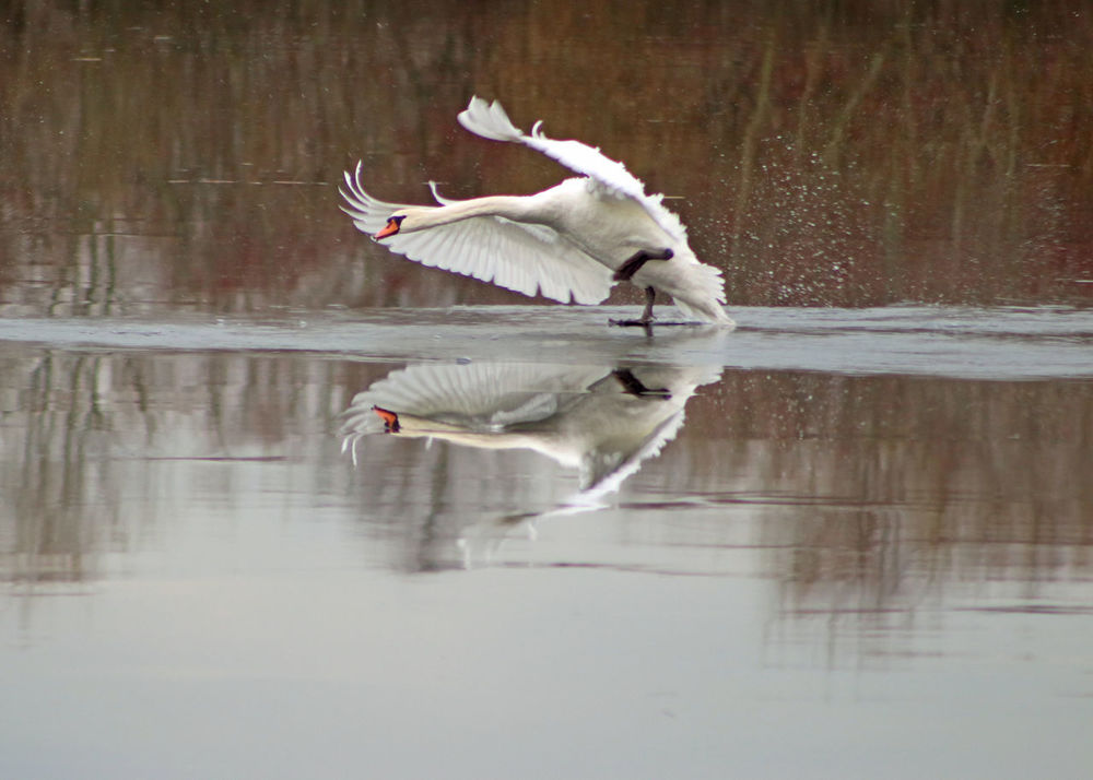 Bird Blauwekamer Bomen IJS Spiegelbeeld Water Winter Zwaan