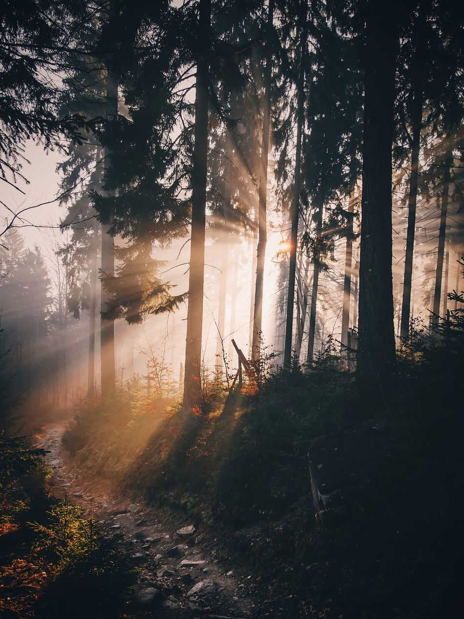 Tree Nature Fog Beauty In Nature Forest Sunbeam Sunlight Growth Tranquility Outdoors Tranquil Scene Scenics Sunset Landscape No People Sun Day