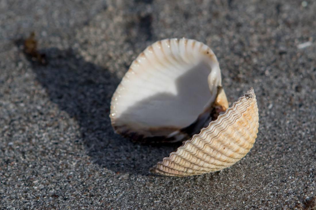 Isle of Mull, Scotland - open seashell on a beach, close-up Beach Beach Photography Beachphotography Close-up Monochrome Nature Outdoor Photography Outdoors Sand Scotland Sea Sea Life Seashell