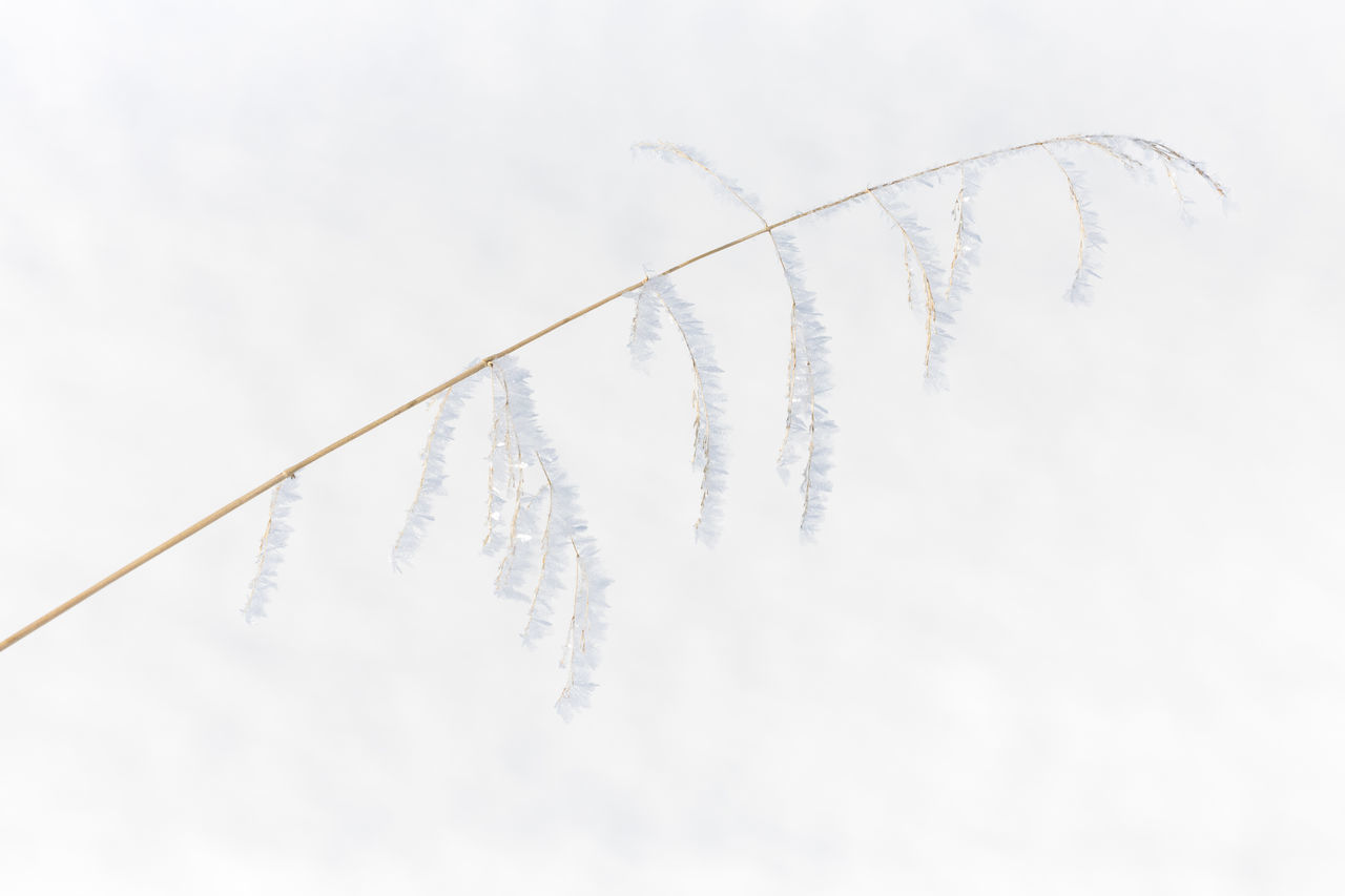Frozen grass with beautiful ice crystals against snow Beauty In Nature Close-up Cold Temperature Day Dried Plant Fragility Frost Frozen Grass Grass Family Ice Ice Crystal Natural Pattern Natural Phenomenon Nature Outdoors Plant Selective Focus Simplicity Snow Weather White Background White Color Wilted Plant Winter