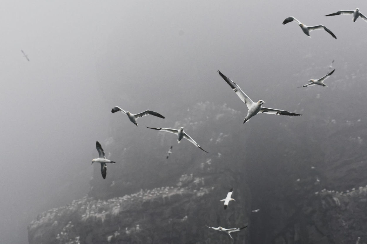 Bass Rock Gannets EyeEmNewHere Animal Themes Animal Wildlife Animals In The Wild Bird Flock Of Birds Flying Low Angle View Mid-air Nature No People Outdoors Spread Wings