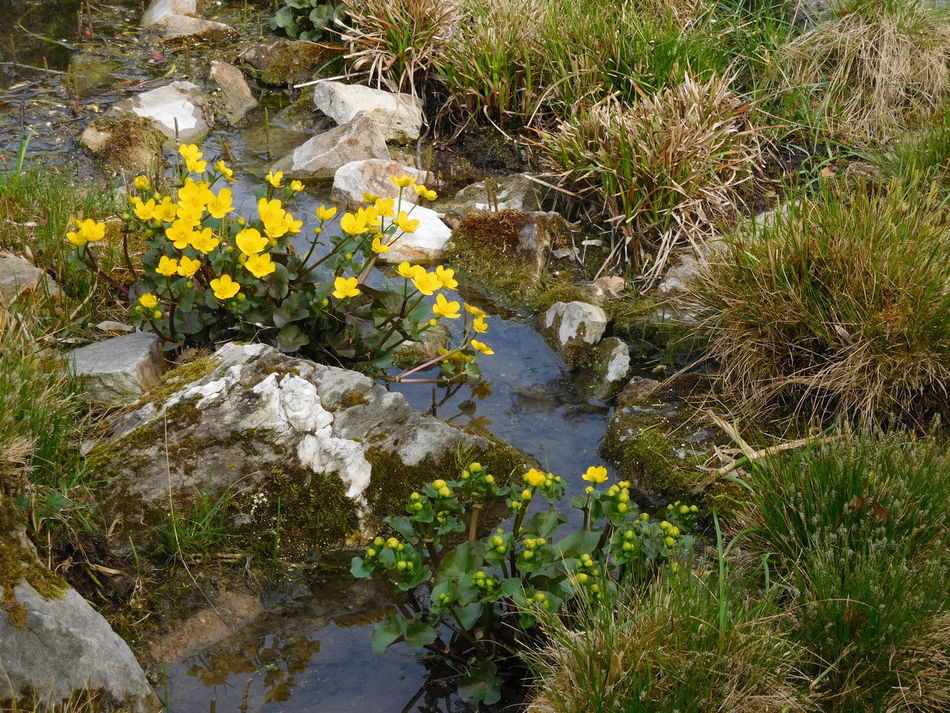 Creek Crowfoots Day Freshness Grass Reflections Water Yellow