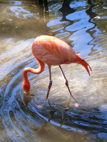 Flamingo Bird Water Shining Ripples