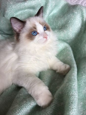 Domestic Animals Pets Animal Themes One Animal Domestic Cat Mammal Indoors  Cat Feline Close-up Whisker Relaxation Zoology Alertness Selective Focus Resting At Home Animal Kitten Pampered Pets Lookingup Ragdoll Part Of Blue Eyes Pastel Power