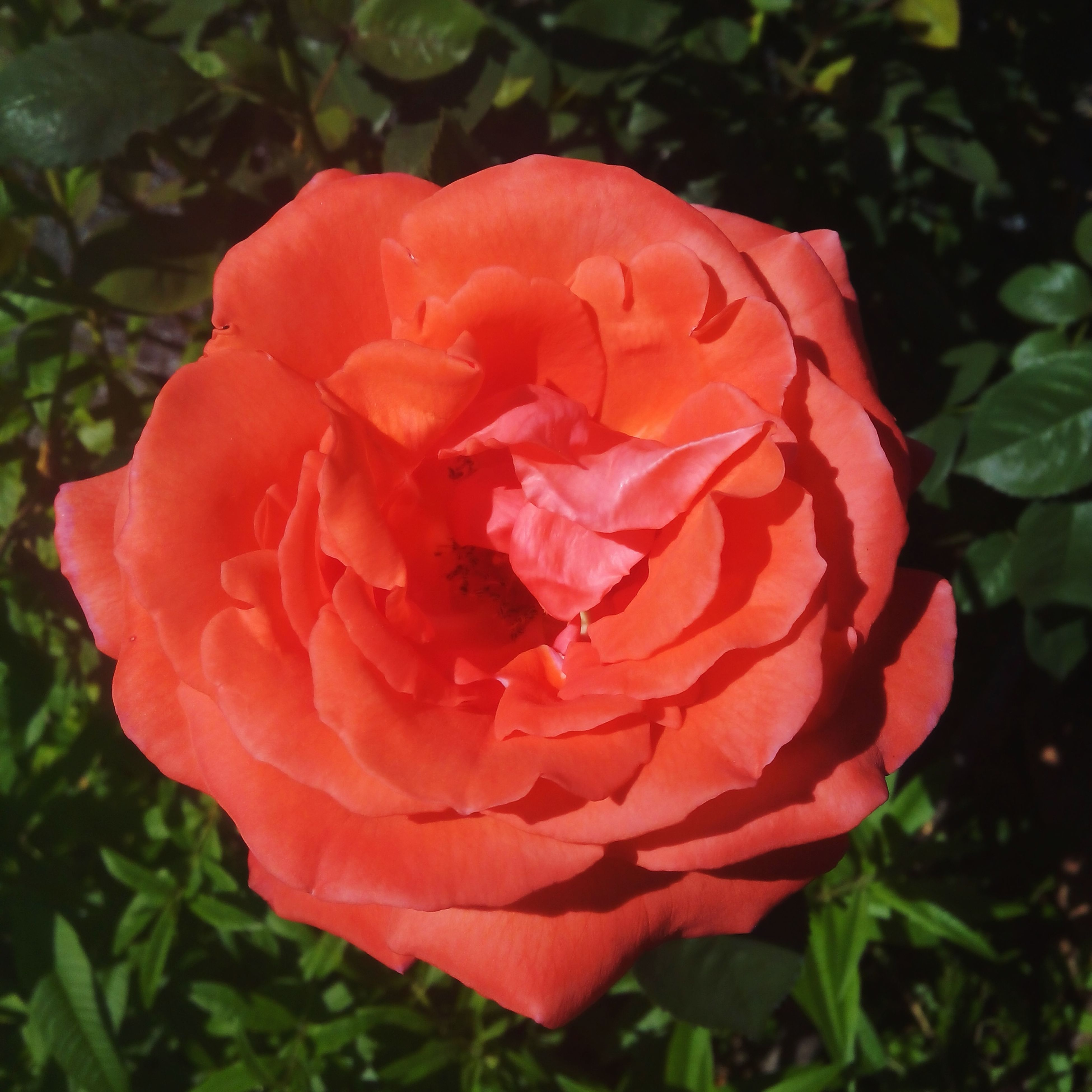 flower, petal, freshness, flower head, fragility, growth, beauty in nature, red, blooming, rose - flower, close-up, single flower, plant, nature, leaf, focus on foreground, in bloom, day, rose, outdoors