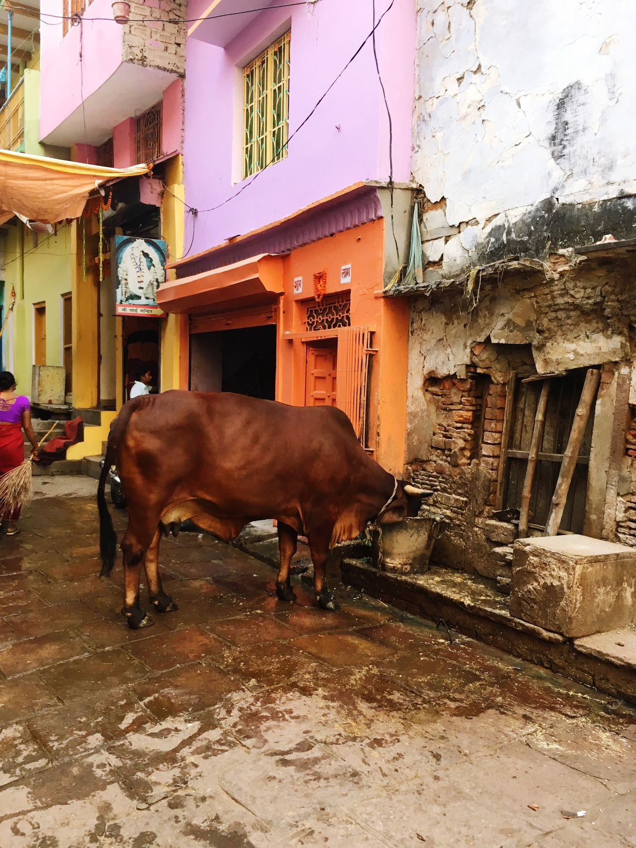 Chance Encounters Varanasi India Old City Road Building Exterior Domestic Animals One Animal Cultures Varanasi, India Ganges, Indian Lifestyle And Culture, Bathing In The Ganges,