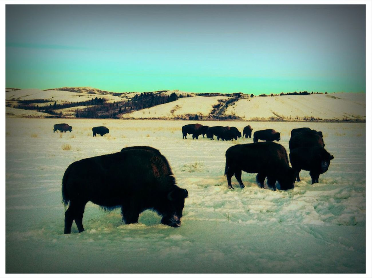 Nature Winter Tadaa Community Bison outside Jackson, WY. Wyoming