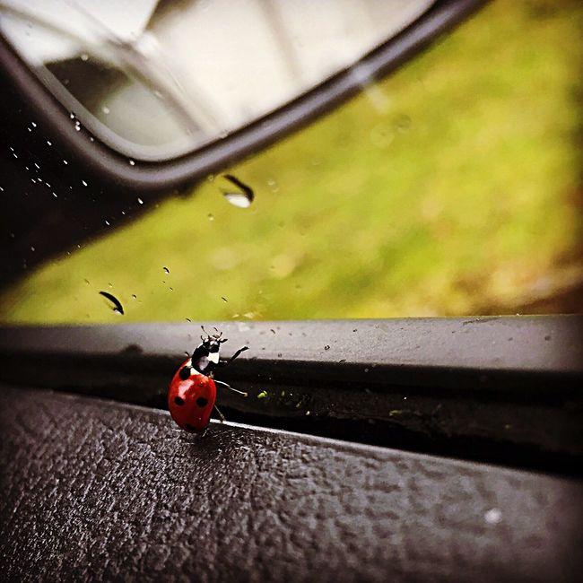 Ladybug Ladybird Pet Red Black Bugs Fly Car Driving Rain First Drive