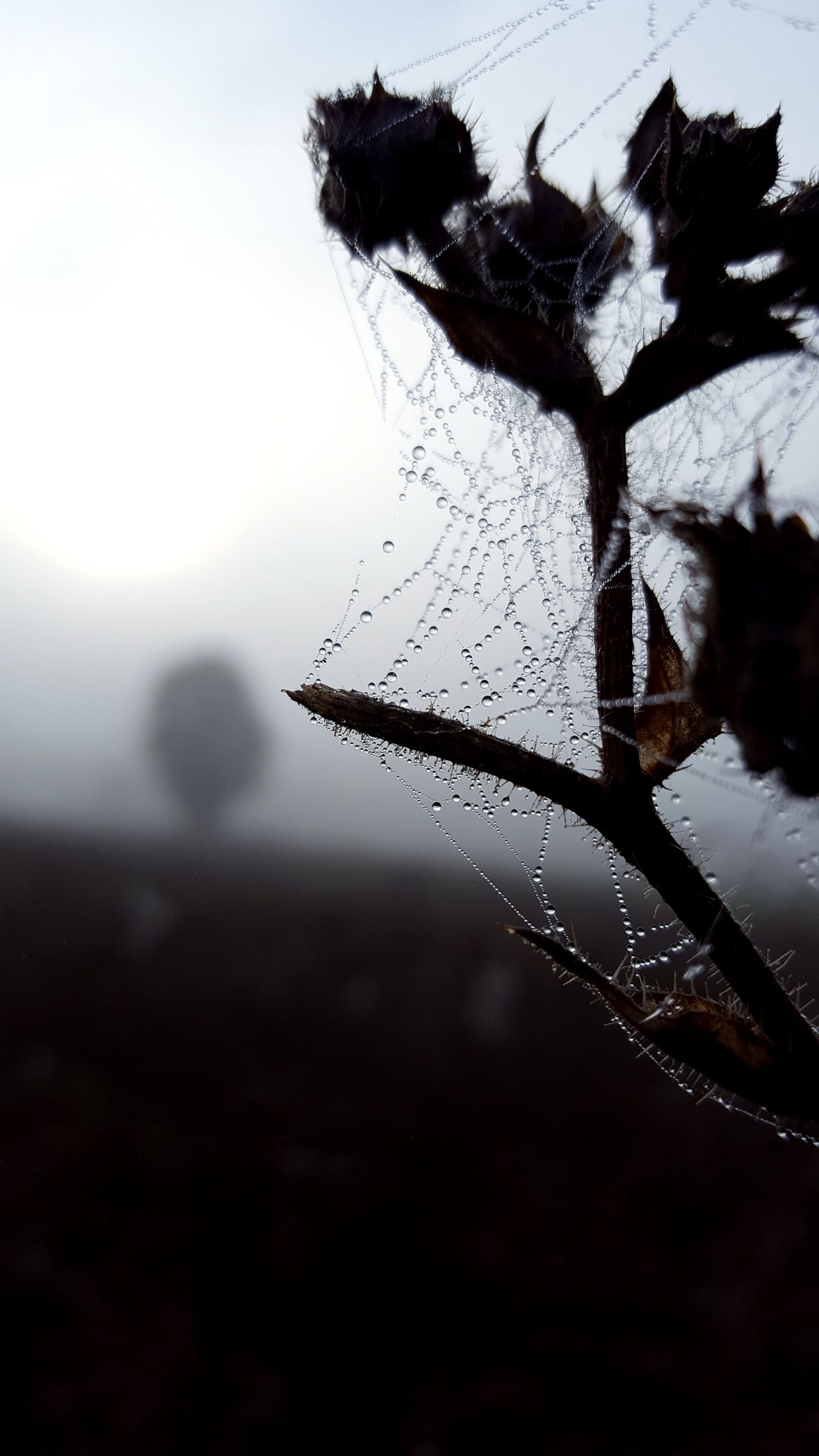 Vertical Water Drop Silhouette Nature Rain Sky Close-up Tree Branch Outdoors Beauty In Nature No People Fragility Day The Week On EyeEm Eye4photography  Focus On Foreground Landscape_photography Foggy Morning Mobilephotography From My Point Of View Spider Web Beauty In Nature Web
