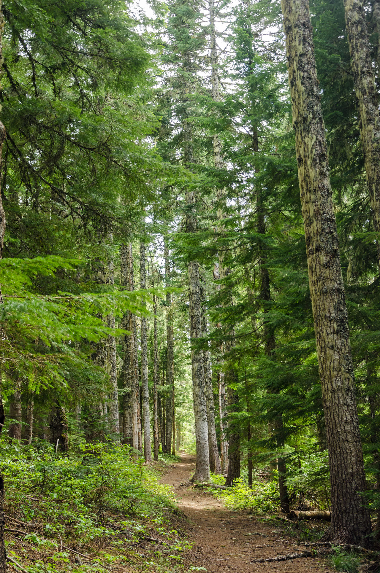 Trail passing through tall pine trees in Oregon Background Branch Branches Brown Conifer  Coniferous Detail Evergreen Fir Forest Fresh Green Leaf Natural Nature Nature Needle Needles Oregon Pine Plant Season  Spruce Tree Wood
