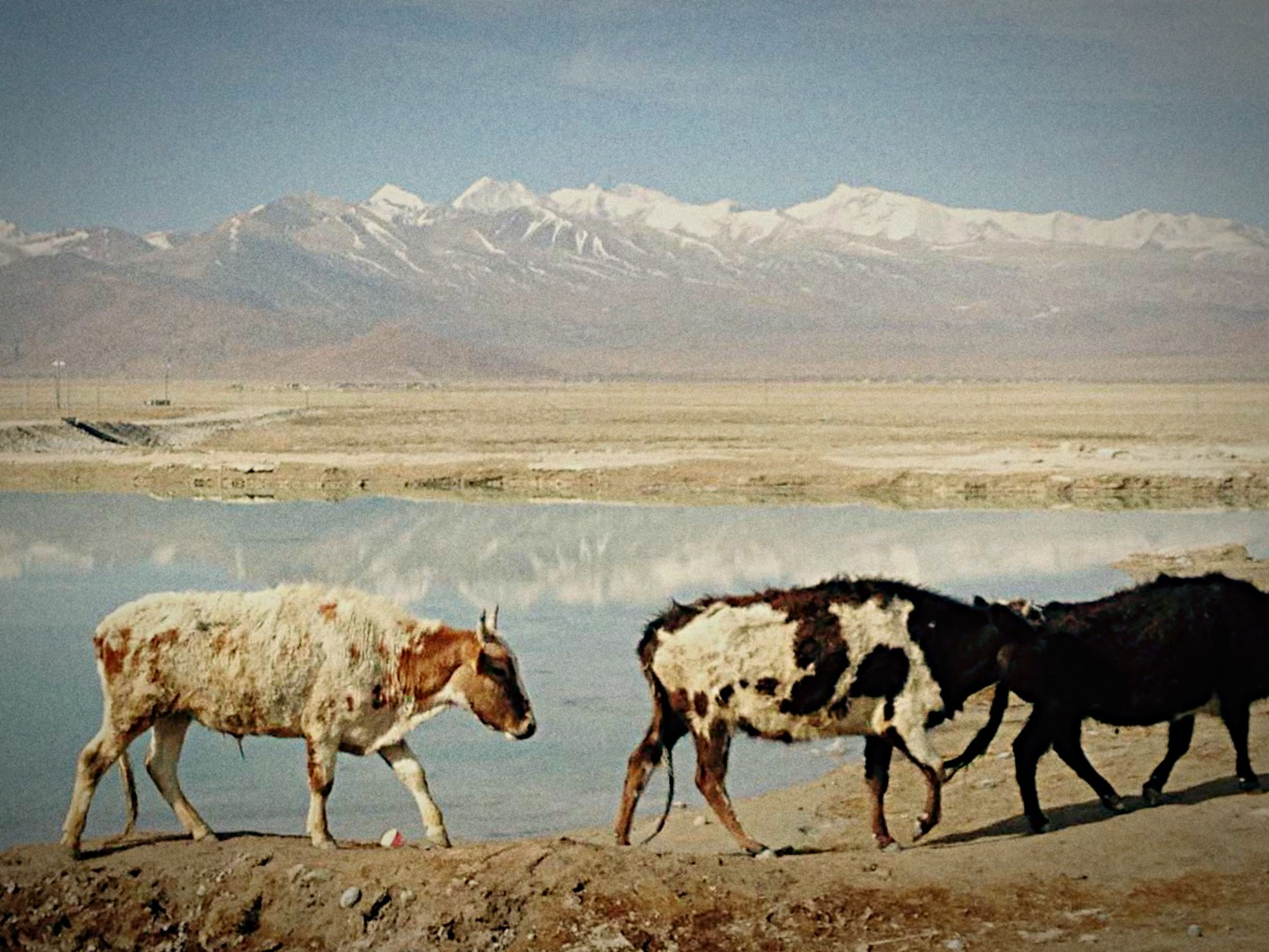 animal themes, domestic animals, mammal, mountain, livestock, mountain range, standing, nature, water, landscape, snow, winter, two animals, full length, cold temperature, horse, medium group of animals, side view, beauty in nature, three animals