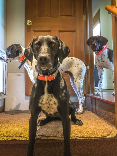 Staking out the dog door Animal Themes Dog Domestic Animals German Shorthaired Pointer Home Interior Indoors  Looking At Camera Pets Pointer Dog Portrait Three Dogs