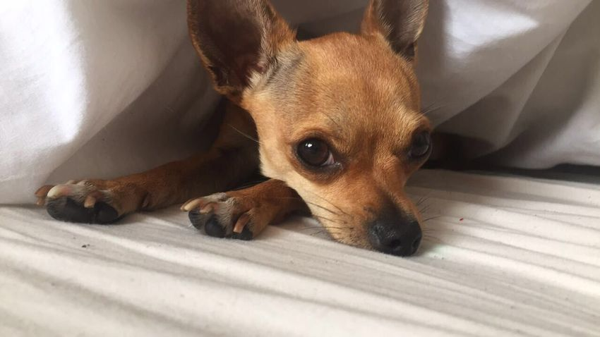 Chihuahua Doggy Beautiful Photographer Photography Photooftheday Bed Undercover Dog Pets One Animal Animal Lying Down Mammal Lying On Front Animal Themes Domestic Animals No People Looking At Camera Puppy Indoors  Close-up