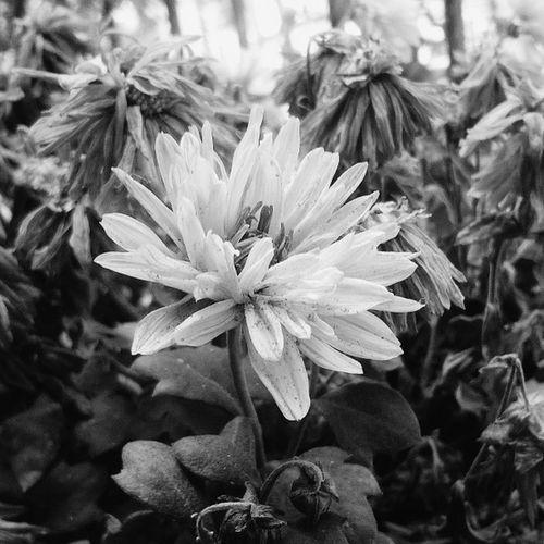 OnePlusOne📱 Shades Of Grey Blackandwhite Showcase March Unknown Flower