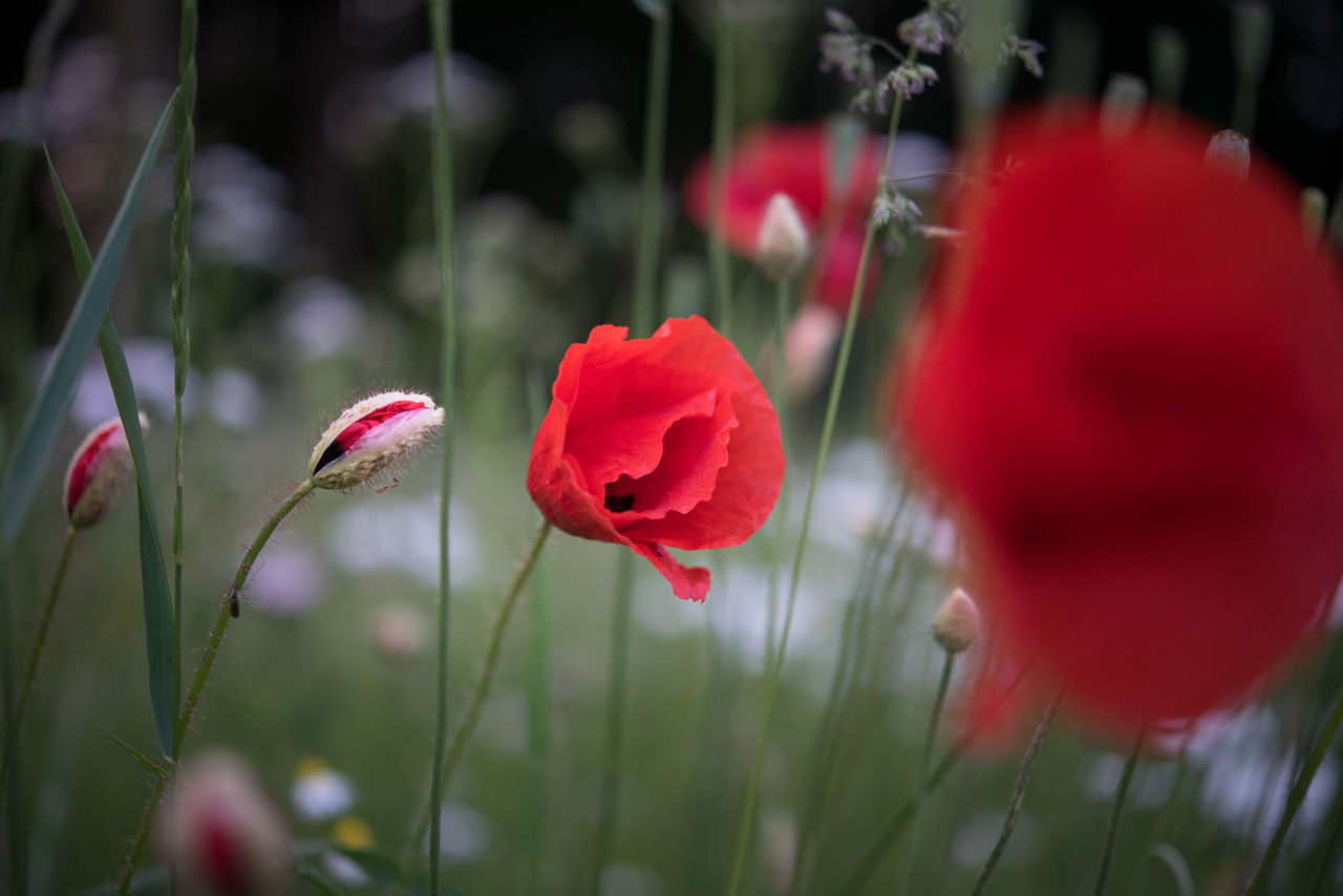 Beauty In Nature Blooming Bud Close-up Flora Flower Flower Head Fragility Growth Nature No People Outdoors Petal Plant Poppy Red Selective Focus Summer