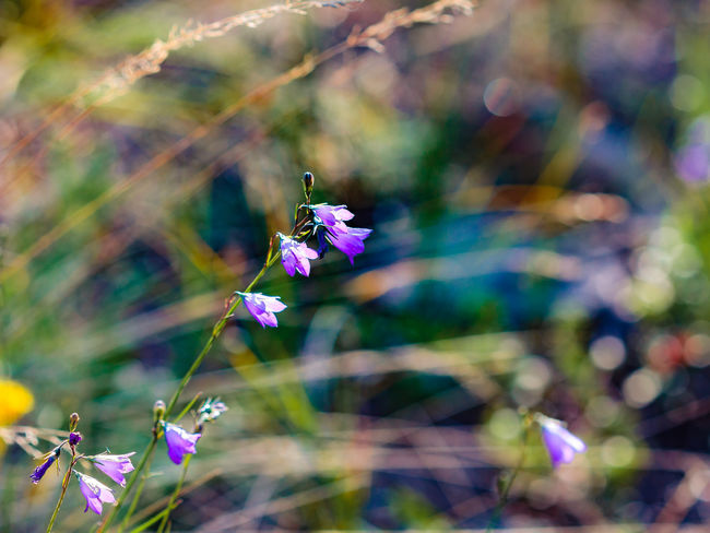 Backgrounds Beauty In Nature Blooming Blossom Bokeh Campanula Rotundifolia Close-up Flower Flower Head Focus On Foreground Harebell In Bloom Outdoors Plant Purple Rocky Mountain National Park Summer