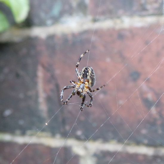 Doing repairs because I opened the bacj gate. Oops. Spider Nature Oldham Ig_britishisles
