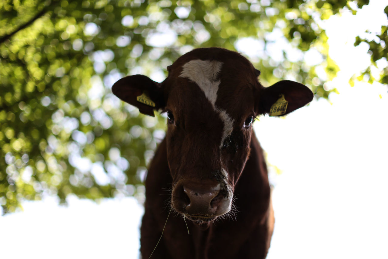 Cow Animal Themes Bovine Bovine Beauty Brown Close-up Cow Domestic Animals Kuh Mammal Nature No People One Animal Outdoors Rind