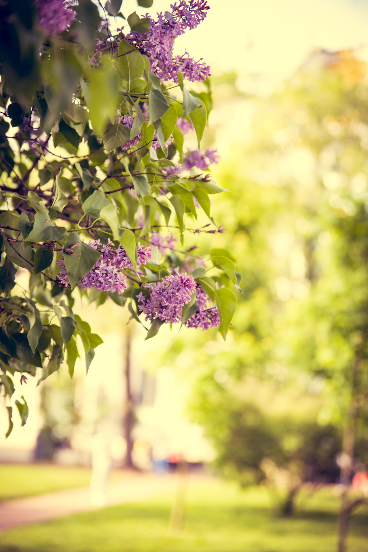 Beauty In Nature Blooming Close-up Day Flower Flower Head Focus On Foreground Fragility Freshness Growth Lilac Nature No People Outdoors Park - Man Made Space Petal Plant Purple Tree