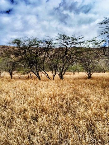 Dried ironwood trees inside Diamond Head Crater. Trees Tree TreePorn Outdoors Outdoor Photography Landscape Grass Hawaii Travelphotography Beautiful Nature Travel Destinations Tourist Travel Photography
