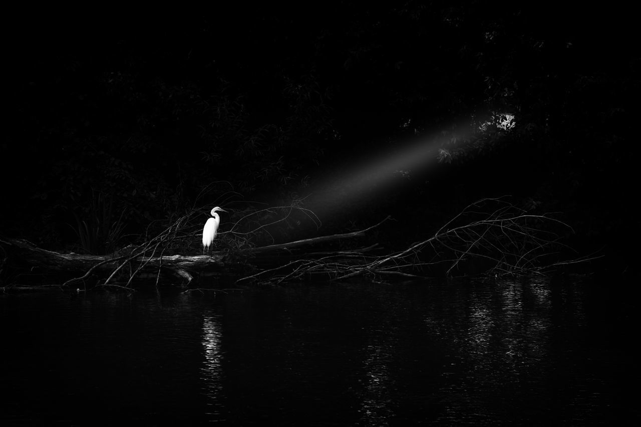 Light Falling On Great Egret While Perching Over Lake