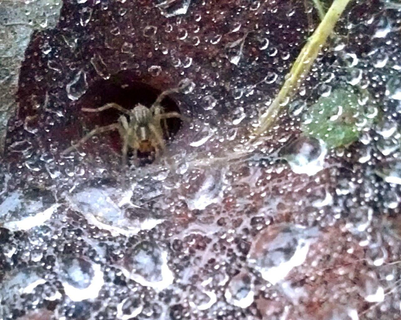 Wolfspider Tunnelweb Arachnid Photography SpideronaWeb Web Spiderweb