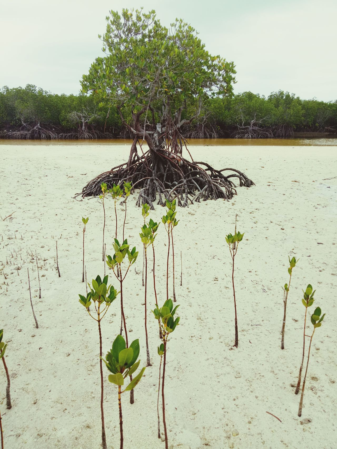 Growth Nature Mangroves Life Lowtide