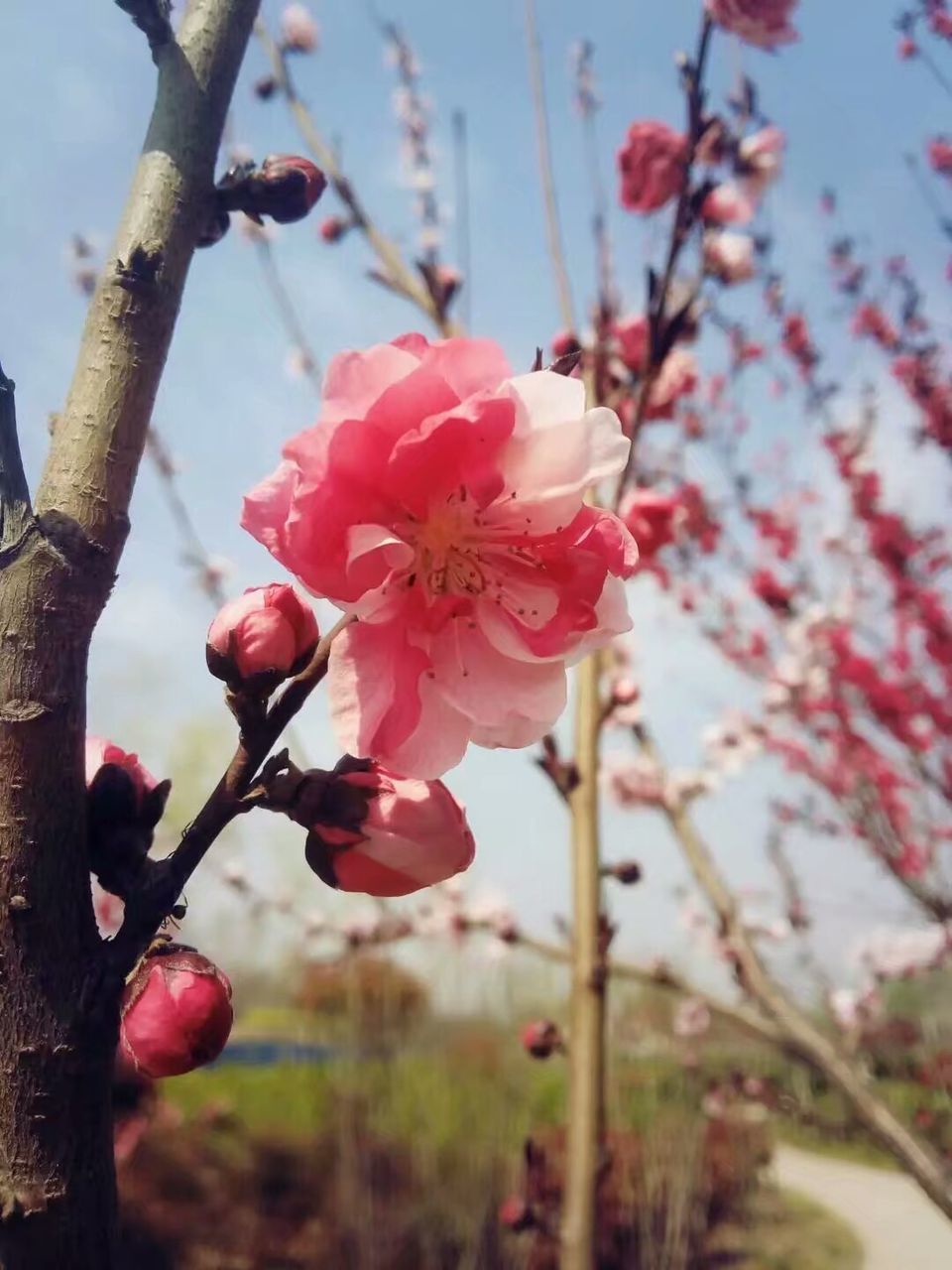 flower, growth, beauty in nature, fragility, tree, nature, blossom, freshness, springtime, petal, apple blossom, branch, twig, apple tree, close-up, day, focus on foreground, no people, pink color, botany, orchard, outdoors, red, flower head, plum blossom, blooming, stamen, sky