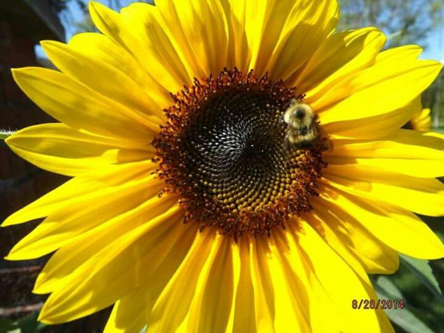 Sunflower Bee Busybee Closeup Closeupshot Puremichigan Summertime
