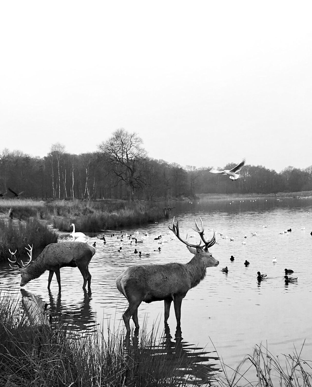 Richmond Park, London, UK Nature Animals In The Wild Animal Themes Tree Landscape Sky Beauty In Nature Outdoors Animal Wildlife Mammal No People Grass Day Large Group Of Animals Scenics Water Nature Reserve Stag Antler Richmond Park, London Wildlife & Nature Wildlife Photography Deer Beautiful Nature EyeEm Nature Lover