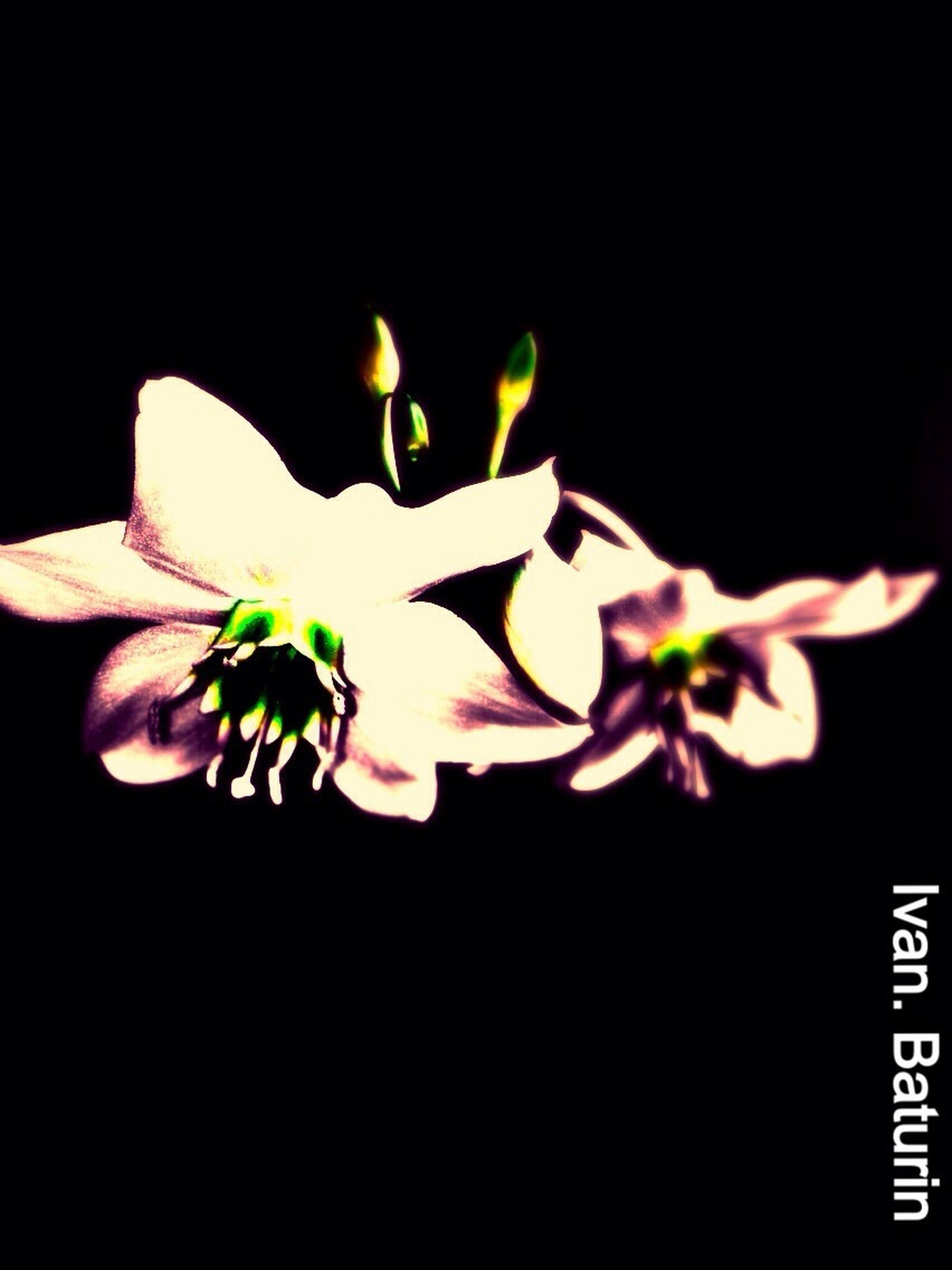 close-up, flower, black background, petal, studio shot, freshness, fragility, nature, flower head, dark, multi colored, focus on foreground, blossom, springtime, beauty in nature, no people, bloom, botany