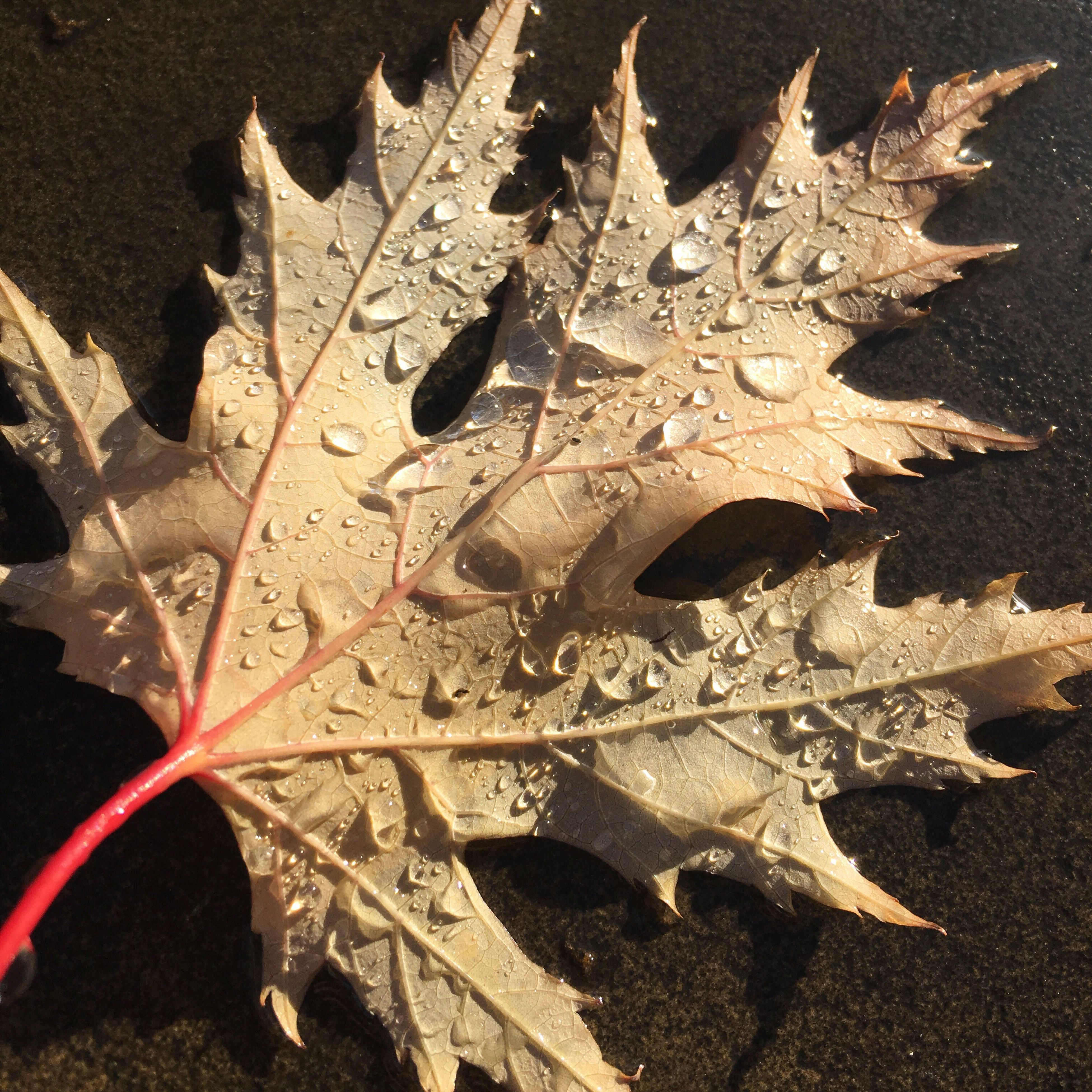 leaf, maple leaf, maple, close-up, no people, water, autumn, full frame, outdoors, day, nature