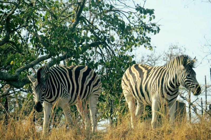 EyeEm Nature Lover Nature Zebras In South Africa Blackandwhite Zebra Watching Serenity Wildlife Photography Life In Motion